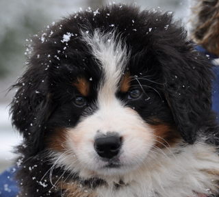 DeGrasso's Bernese Mountain Dogs